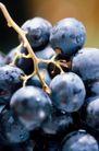葡萄酒0045,葡萄酒,休闲生活,鲜葡萄