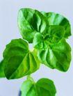 花草茶饮0029,花草茶饮,休闲生活,植株 叶形 叶脉