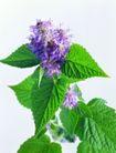 花草茶饮0036,花草茶饮,休闲生活,紫花 青叶 叶形