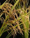 日式美食0097,日式美食,美食,水稻 稻子 稻叶