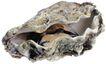 食材海鲜0040,食材海鲜,美食,贝壳 河蚌 肉食
