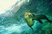 深海鱼0098,深海鱼,海洋风情,海狮 水面 嬉戏