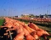 祈福0053,祈福,中华文化,庆贺佳节 大量的猪 准备烧烤