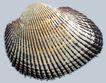 贝壳海洋0038,贝壳海洋,综合,花纹 外形 花斑