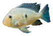 海洋鱼0100,海洋鱼,综合,马大哈 鱼群 海洋
