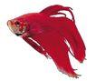 海洋鱼0102,海洋鱼,综合,观赏鱼 红色 外形