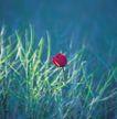 鲜花装饰0040,鲜花装饰,鲜花,草丛 生物 红花