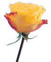 玫瑰花瓣0020,玫瑰花瓣,鲜花,一枝花 独立 绽放
