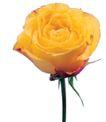 玫瑰花瓣0021,玫瑰花瓣,鲜花,月季 花梗 花香