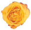 玫瑰花瓣0022,玫瑰花瓣,鲜花,玫瑰 黄色 鲜花