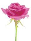 玫瑰花瓣0026,玫瑰花瓣,鲜花,红花 花冠 花托