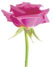 玫瑰花瓣0027,玫瑰花瓣,鲜花,月季 红玫瑰 花瓣