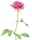 玫瑰花瓣0030,玫瑰花瓣,鲜花,枝条 嫩叶 鲜花