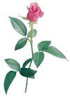 玫瑰花瓣0033,玫瑰花瓣,鲜花,花蕾 叶形 粉红色
