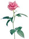 玫瑰花瓣0035,玫瑰花瓣,鲜花,花梗 叶子 植物
