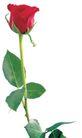 玫瑰花瓣0038,玫瑰花瓣,鲜花,月季 玫瑰 花朵