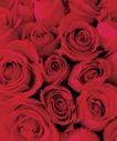 玫瑰花瓣0044,玫瑰花瓣,鲜花,