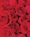 玫瑰花瓣0045,玫瑰花瓣,鲜花,