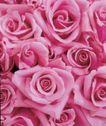 玫瑰花瓣0047,玫瑰花瓣,鲜花,