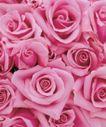 玫瑰花瓣0048,玫瑰花瓣,鲜花,