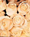 玫瑰花瓣0052,玫瑰花瓣,鲜花,