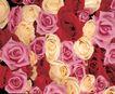 玫瑰花瓣0054,玫瑰花瓣,鲜花,