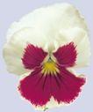 迷人花朵0064,迷人花朵,鲜花,白花 花蕊 米黄