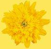 迷人花朵0070,迷人花朵,鲜花,菊花 黄色 秋天