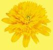 迷人花朵0071,迷人花朵,鲜花,盛开 黄菊 花色