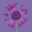 迷人花朵0080,迷人花朵,鲜花,