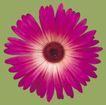 迷人花朵0091,迷人花朵,鲜花,雏菊 花瓣 紫色