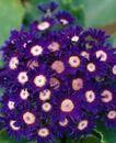 百花齐放0066,百花齐放,鲜花,菊花 紫色 绿叶