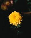 百花齐放0093,百花齐放,鲜花,菊花 万寿菊 黄色