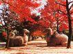 南京明孝陵神道,江苏省,全国各省美景,枫叶 林荫道 骆驼像