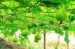 田园清蔬0136,田园清蔬,农业,国外 农场 水果天地