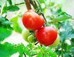 田园清蔬0143,田园清蔬,农业,西红柿 番茄