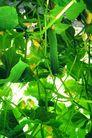 田园清蔬0172,田园清蔬,农业,青翠欲滴 小黄瓜 新鲜