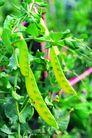 田园清蔬0176,田园清蔬,农业,扁豆 绿色蔬菜 嫩绿色