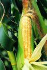 田园清蔬0178,田园清蔬,农业,玉米 成熟 剥开了皮