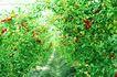 果园风光0152,果园风光,农业,