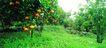 果园风光0171,果园风光,农业,果园 果树 挂果了
