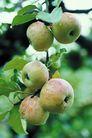 果园风光0173,果园风光,农业,苹果园 苹果树 大苹果