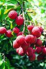 果园风光0175,果园风光,农业,收获季节 荔枝 鲜红果实