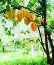果园风光0179,果园风光,农业,美丽果园 杨桃果树 橘黄色