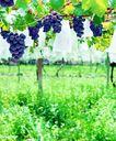 果园风光0187,果园风光,农业,种植业 葡萄园