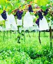 果园风光0188,果园风光,农业,紫色水果 葡萄