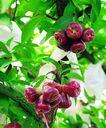 果园风光0189,果园风光,农业,红色水果 枝叶