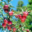 果园风光0190,果园风光,农业,红苹果 农作物