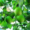 果园风光0192,果园风光,农业,挂果