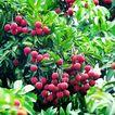 果园风光0195,果园风光,农业,红果